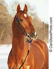 portrait of sorrel  horse . winter - portrait of red horse