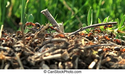 ants  build an anthill
