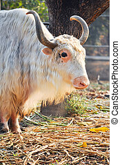 Yak - A domesticated yak, used as a work animal or raised...