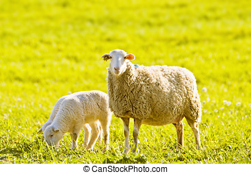 sheep with several lambs on pasture in spring
