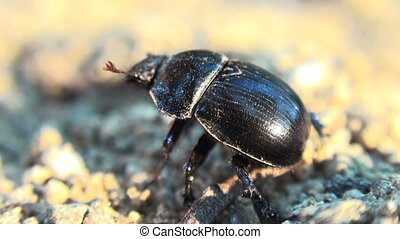 doug beetle scarab close up