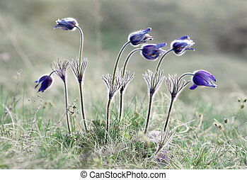 Pasque flowers on field in early morning
