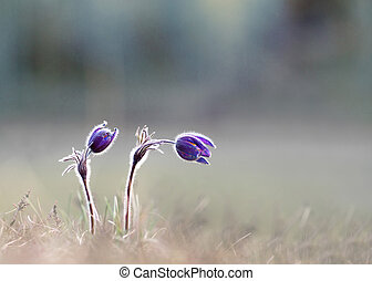 Pasque flowers - Two pasque flowers on field in early...