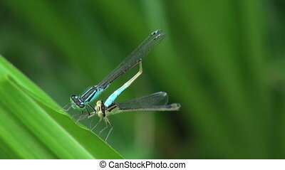 two blue dragonflies gather