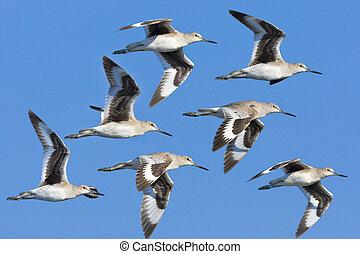 Eastern Willet in flight. - in flight. Catoptrophorus...