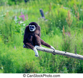 Gibbon at Zoo - Gibbons at Papanak Zoo in Wendover, Ontario