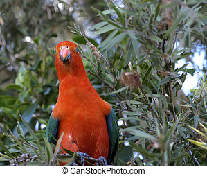 Australian king parrot Alisterus scapularis - a male king...