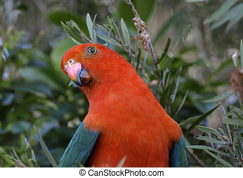Australian king parrot Alisterus scapularis - a male king...