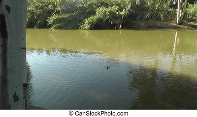 swimming duck on a pond