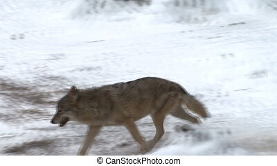 wolves move through in a forest - wolves move through a...