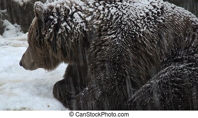 The brown bear walking in snow