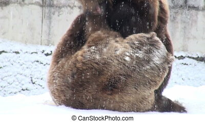 The brown bear fighting in snow - The brown bear walking in...