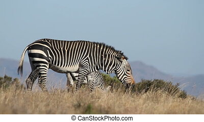 Cape Mountain Zebra (Equus zebra), Mountain Zebra National...