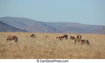 Grazing blesbok antelopes