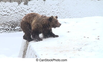 The brown bear walking in snow at forest winter