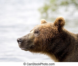 Brown bear,Kamchatka,