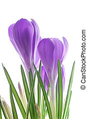 iolet spring crocus - Close-up of violet spring crocus...