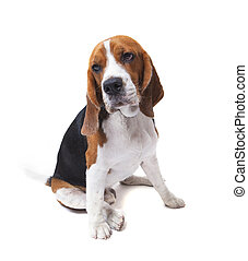face of beagle dog on white background use for pets theme