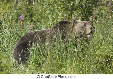 Black Bear - Wild Black Bear Ursus americanus in Banff...