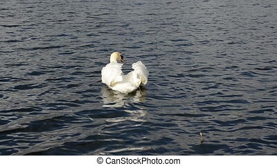 swan bird lake water - beautiful white swan bird swim in...