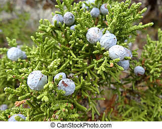 Juniper with berries - A macro shot of juniper with berries