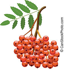 vector berries of mountain ash tree - vector branch of...