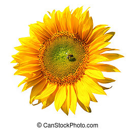 sunflower with bee, isolated on white background