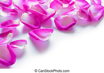 Beautiful Pink Rose Petals on the White Background -...