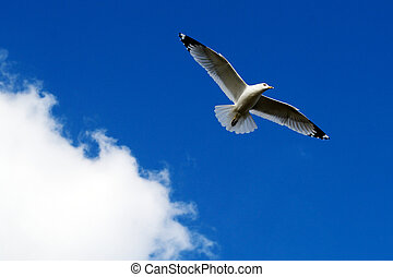 Seagull Gliding against the Backdrop of a heavenly, beautiful blue sky with cotton puff clouds.
