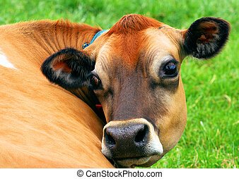 Jersey Cow - Ah mad Jersey cow , taken on the island of...