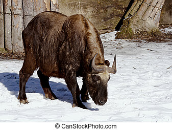 Mishmi Takin (Budorcas taxicolor) is an endangered...