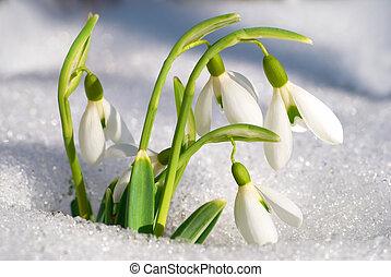 primavera, flores,  Snowdrop