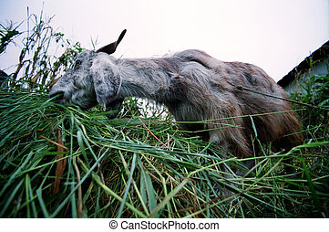 Munching Goat - Wide angle view of a goat chewing on some...