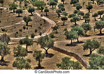Olive Trees Grove - A grove of Olive trees, along with path...
