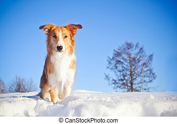 dog border collie in winter - Beautiful red dog border...