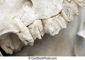 Teeth on a Camel Skull - Part of a camel's skull, a few of...