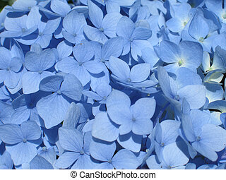 blue hydrangea close-up