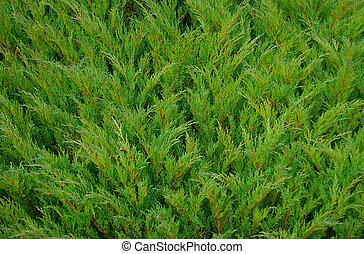 bush texture - Green needles, bush texture and background