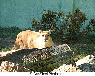 Florida Panther - A Florida Panther in captivity in a zoo.