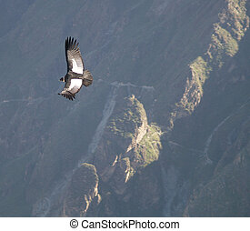 Condor at Colca Valley - Andean Condor Vultur gryphus at...