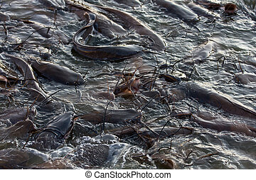Catfish in Gadi Sagar lake , India - Catfish in Gadi Sagar...