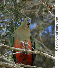 Female king parrot - female king parrot Alisterus scapularis...