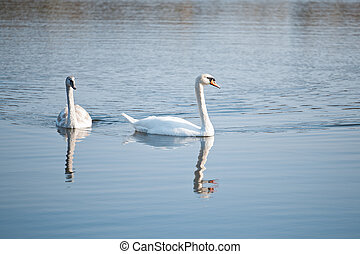 Couple of swans on the lake
