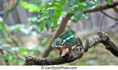 Chameleon with a bright color sits on a branch and rolls eyes in search of production