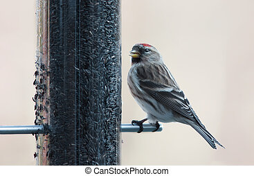 Redpoll - Repoll on a bird feeder