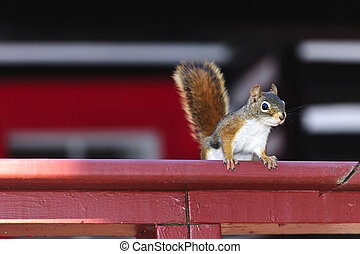 Tree squirrel on red railing