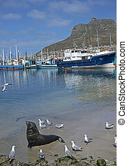 Cape Fur Seal (Arctocephalus pusillus) in shallow water...