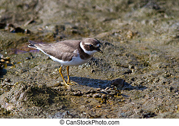 Ringed Plover searching for food on the beach.