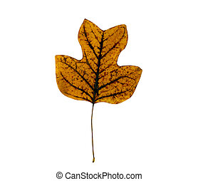 sear tulip tree leaf - sear tulip tree leaf isolated on...