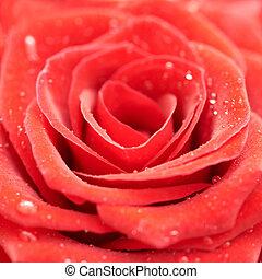 Beatiful dark red rose. Close-up macro view